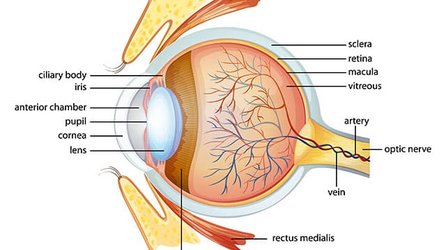 iris-eye-anatomy
