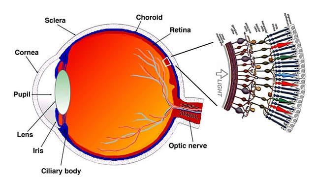 retina-eye-schematic